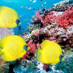 poissons jaunes mer antilles
