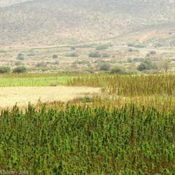Cannabis_Vallee_Valley11