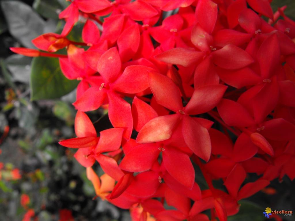 fleurs-martinique-visoflora-19715