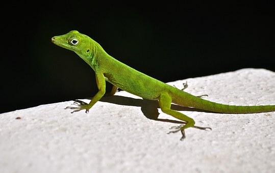 lizard-670907__340