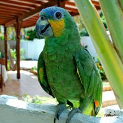 Perroquet Antilles